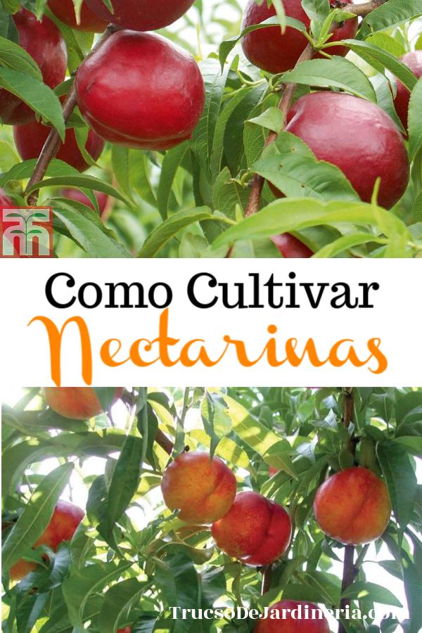 Como Cultivar Nectarinas
