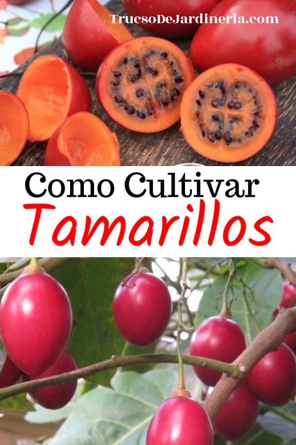 Como Cultivar Tamarillos