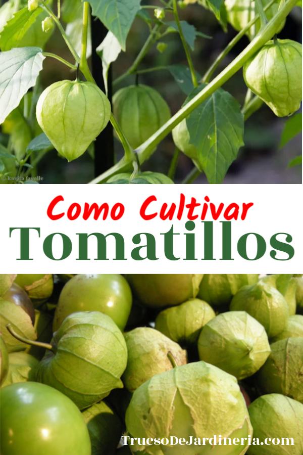 Como Cultivar Tomatillos