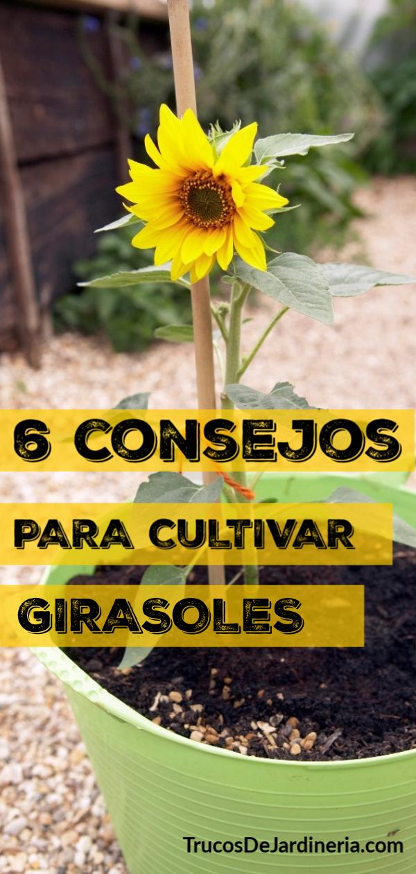 6 Consejos para Cultivar Girasoles