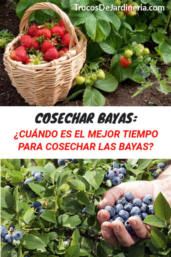 Cosechar Bayas
