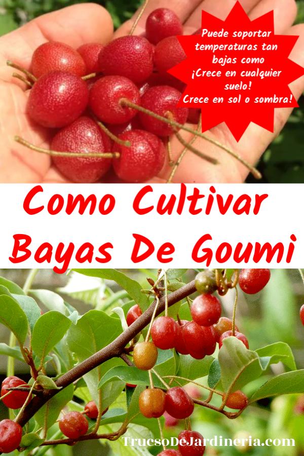 Cultivar Bayas De Goumi
