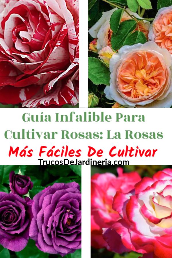 La Rosas Más Fáciles De Cultivar