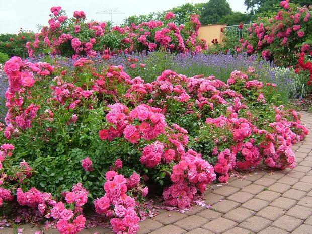 Rosas Tapizantes Rosadas
