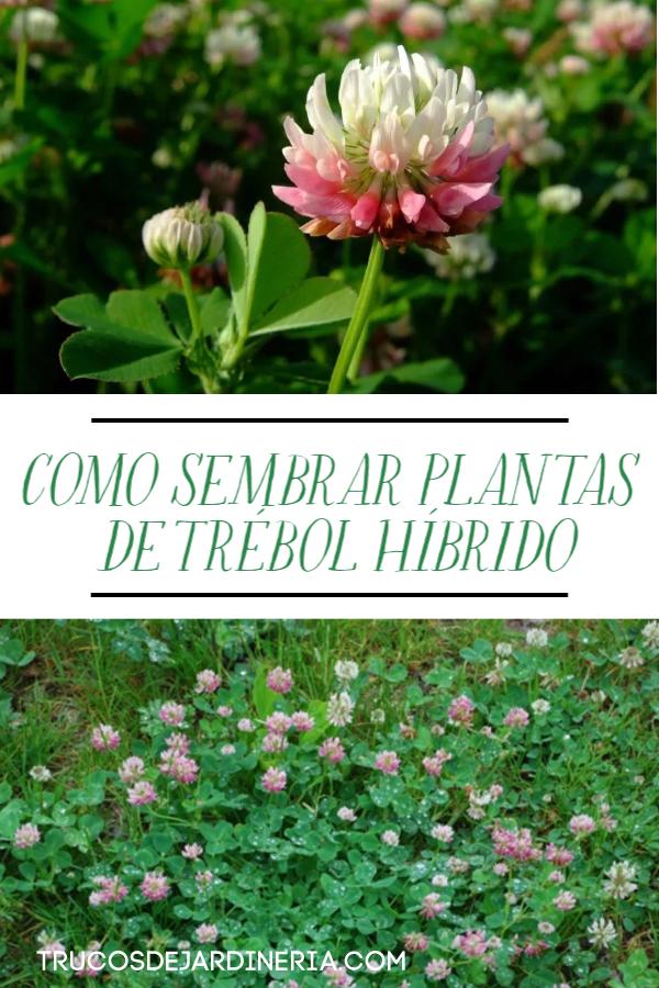SEMBRAR PLANTAS DE TRÉBOL HÍBRIDO