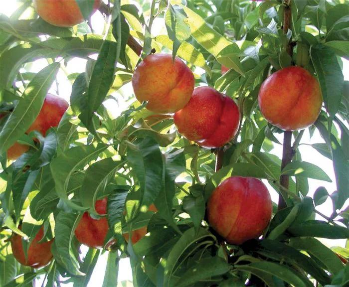 arbol de nectarinas