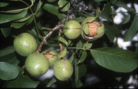 arbol de nueces