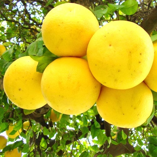 arbole de toronja