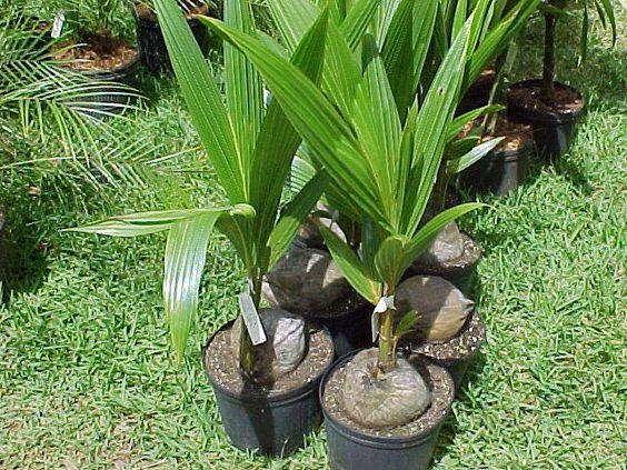 arboles de coco en macetas