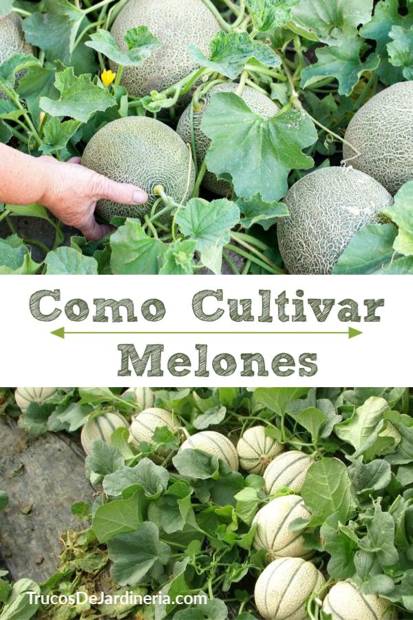 como cultivar melones