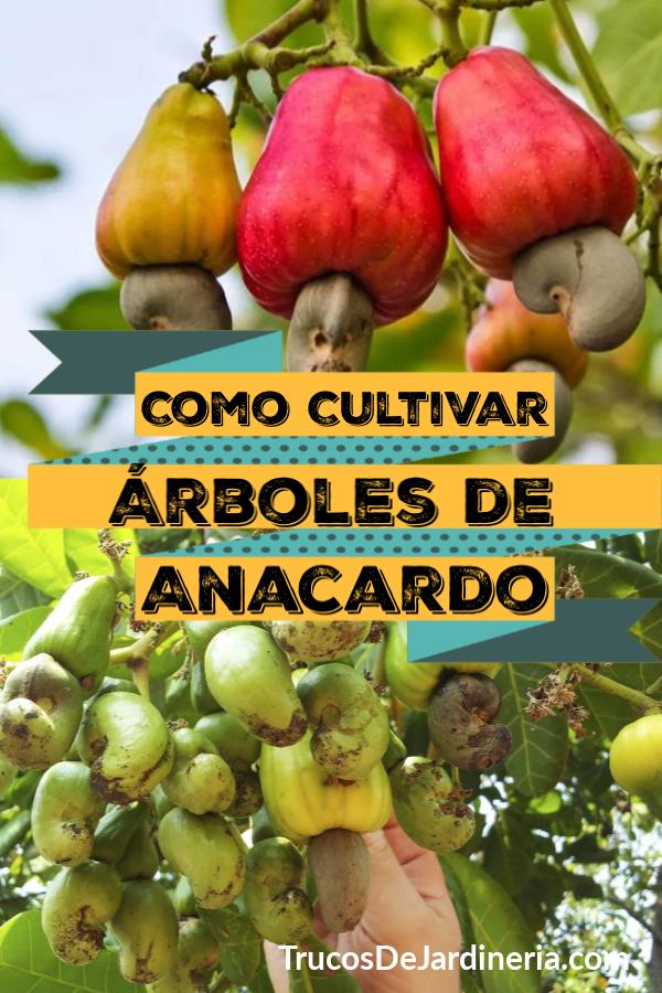 cultivar árboles de anacardo
