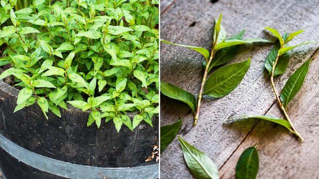 planta de cilantro vietnamita