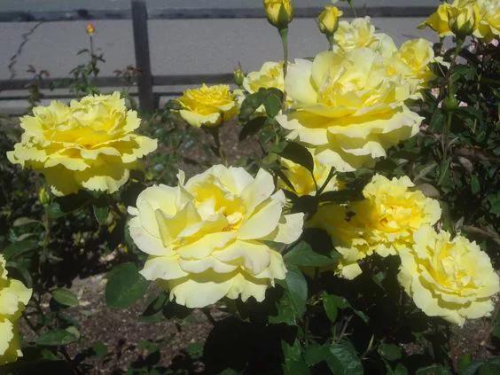 rosas Amarillo Suave