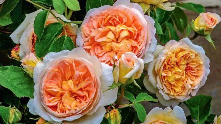 rosas Betsabé