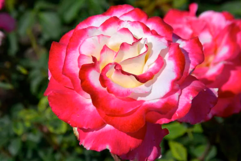 rosas Doble Encanto