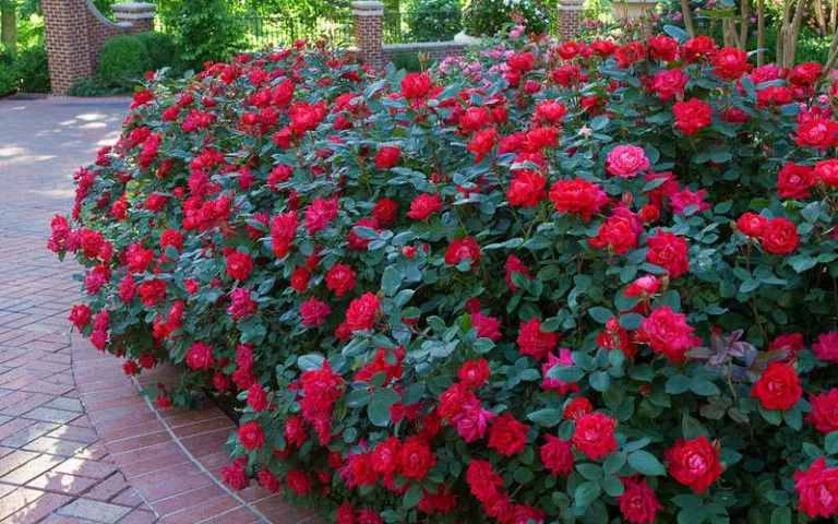 rosas Doble Golpe