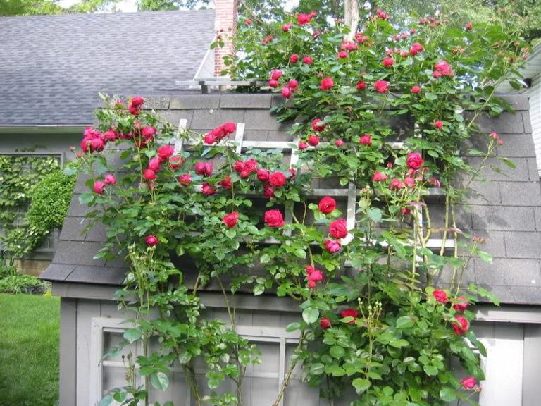 rosas Eden Rojo
