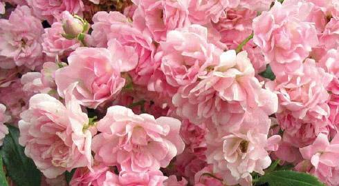rosas El Hada