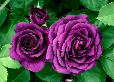 rosas Marea Menguante