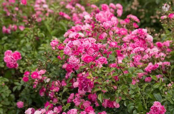 rosas Pequeñas Travesuras