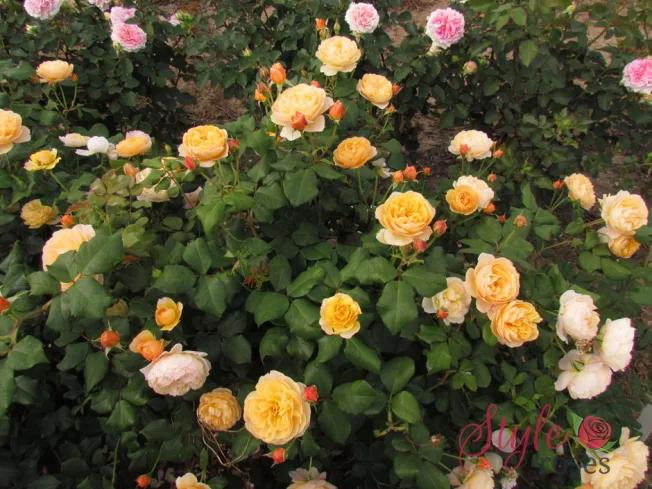 rosas Roald Dahl