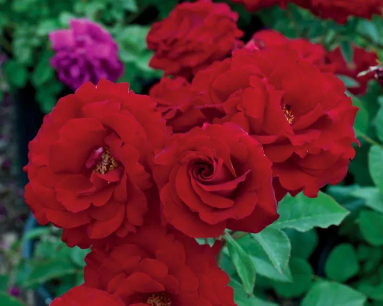 rosas oh mi