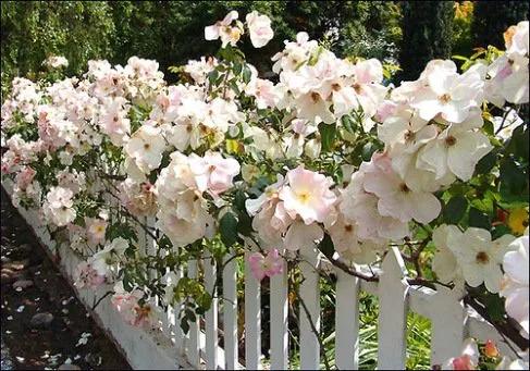 rosas sally holmes