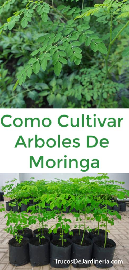 CÓMO CULTIVAR ÁRBOLES DE MORINGA