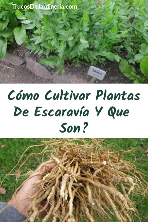 Cómo Cultivar Plantas De Escaravía