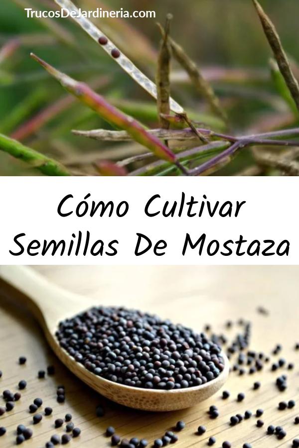 Cómo Cultivar Semillas De Mostaza