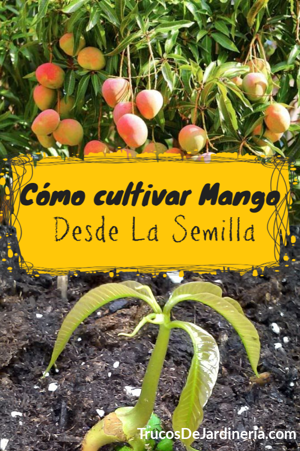 Cultivar Mango Desde la Semilla