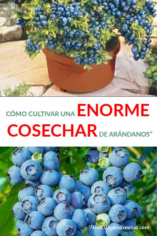 COSECHA DE ARÁNDANOS