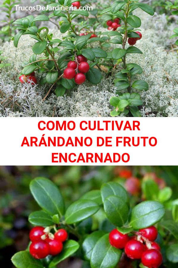 CULTIVAR ARÁNDANO DE FRUTO ENCARNADO