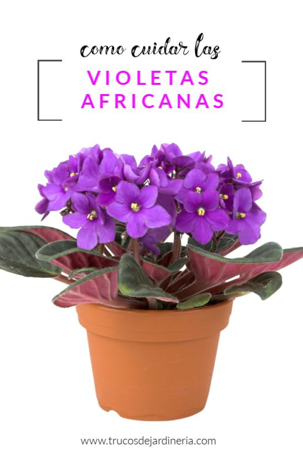 Como Cuidar Las Violetas Africanas