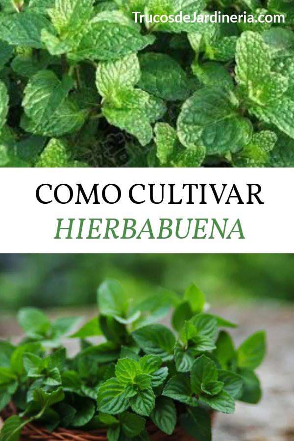 Como Cultivar Hierbabuena