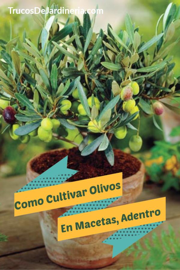 Cultivar Olivos En Macetas