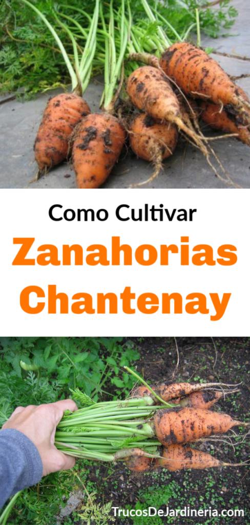 Como Cultivar Zanahorias Chantenay