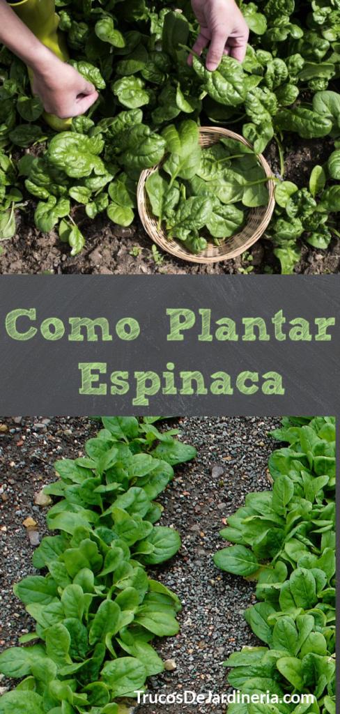 Como Plantar Espinaca