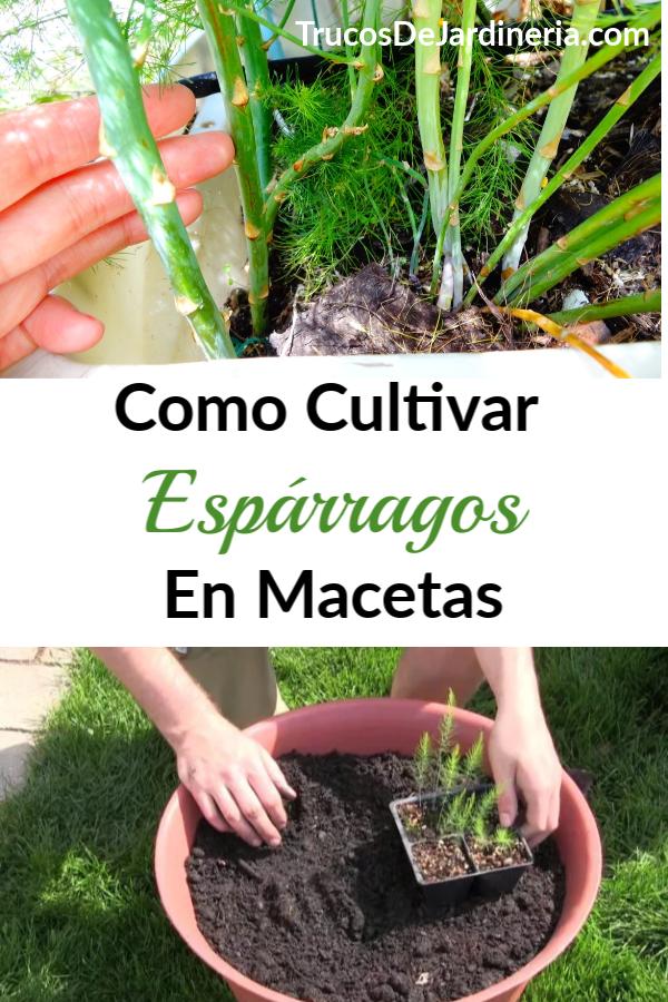 Cultivar Espárragos en Macetas