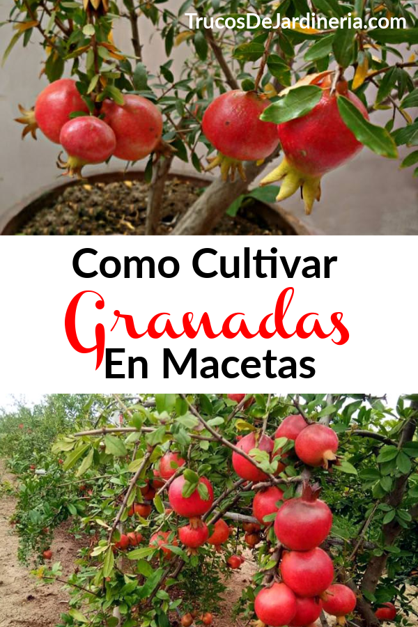 Cultivar Granadas En Macetas