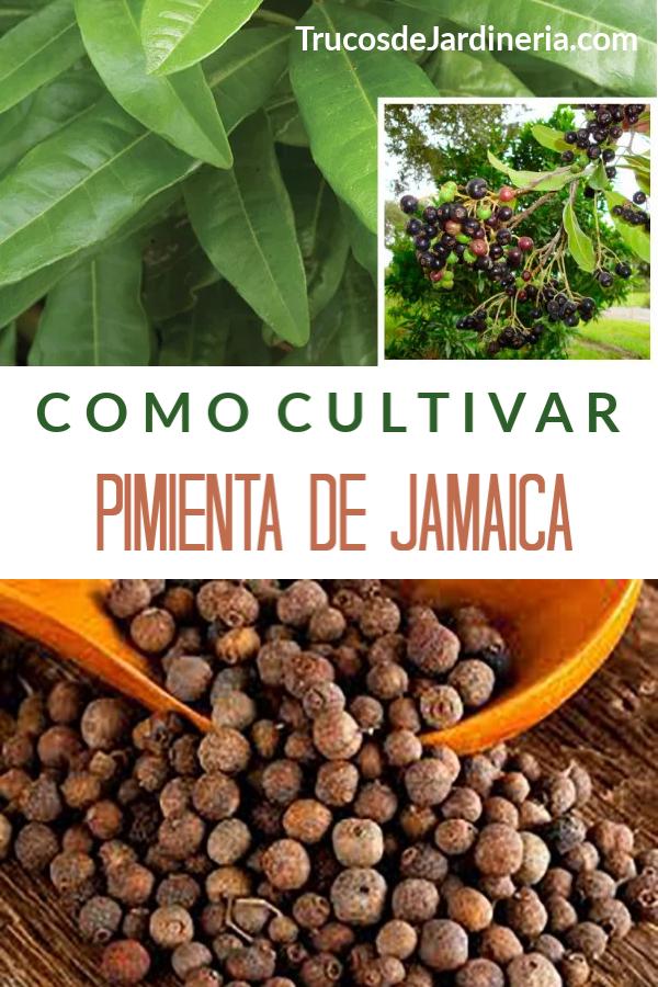 Cultivar Pimienta De Jamaica