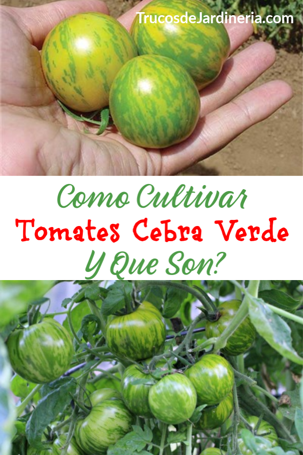 Cultivar Tomates Cebra Verde