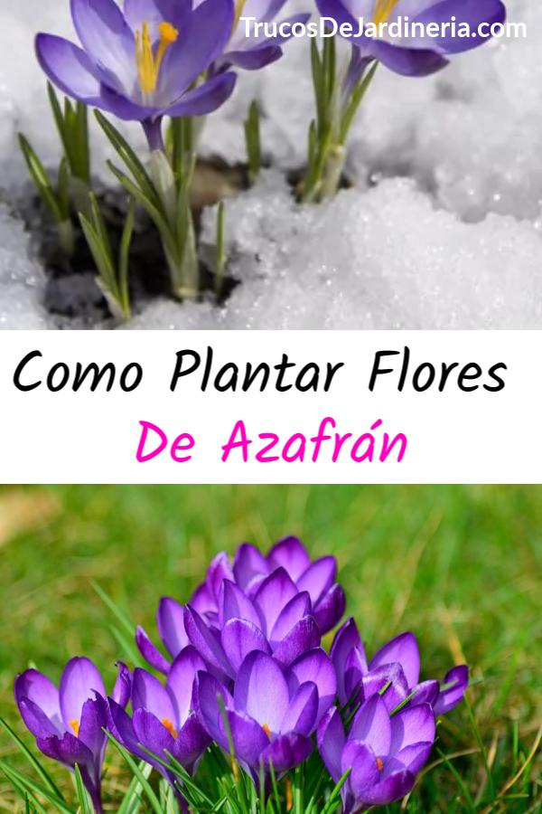 Plantar Flores de Azafrán