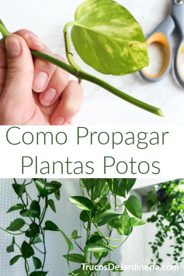 Propagar Plantas Potos