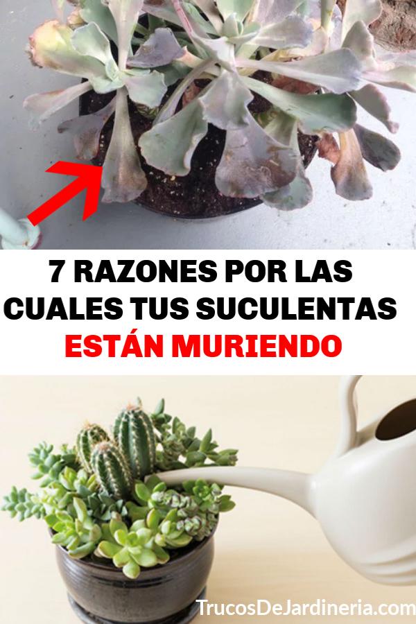 RAZONES POR LAS CUALES TUS SUCULENTAS ESTÁN MURIENDO