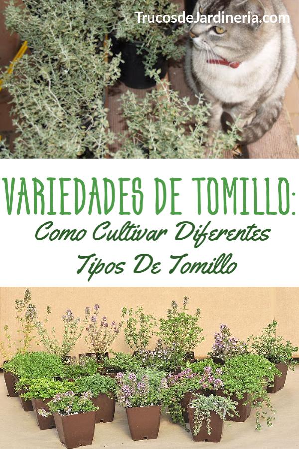 Variedades De Tomillo