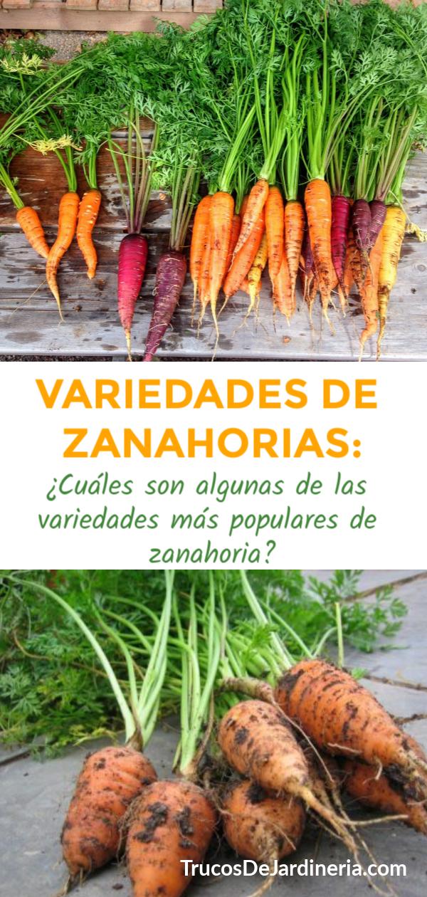 Variedades de Zanahorias: ¿Cuáles son las Variedades de Zanahorias más Populares?