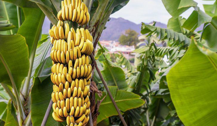 arbol de banana