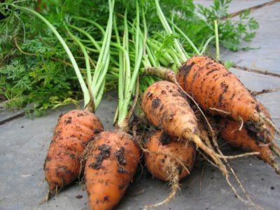 zanahorias chantenay