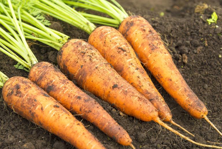 zanahorias danvers